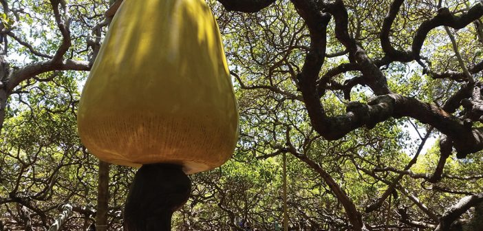 The largest cashew tree plantation in the world