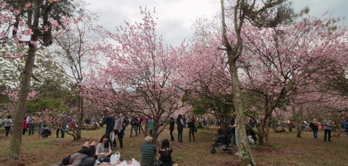 Chit Chat – Curiosities about Brazil – why so many cherry trees in São Paulo?